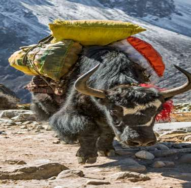 Yak Carrying the food